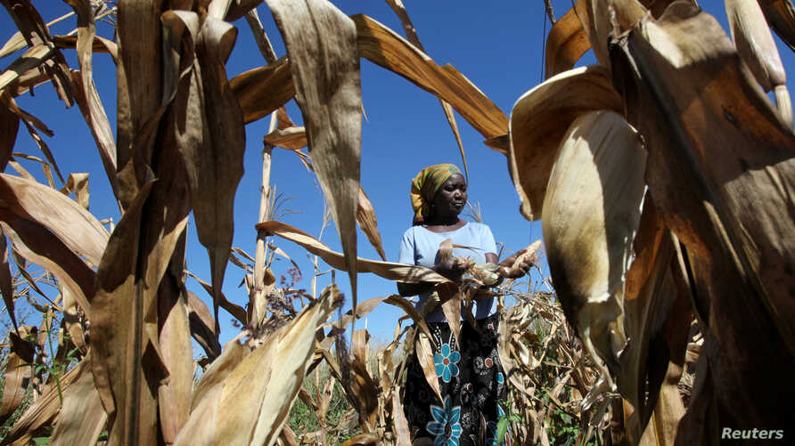 Subsistence farmer Joice Chimedza harvests maize on her small plot in Norton, a farming area outside Zimbabwe's capital, Harare, May 10, 2016. Many farmers have lost crops and cattle as the drought has gone on since 2015.
