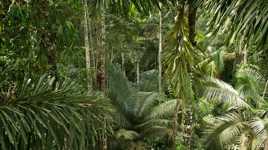 Carnegie Institution botanist in the Peruvian rainforest begins his 45-meter climb to collect foliage from the tree canopy. (Jake Bryant)