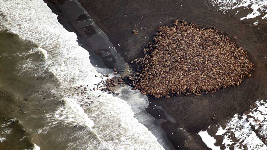 According to NOAA, Pacific walrus are are coming to the northwest coast of Alaska in record numbers, looking for places to rest in the absence of sea ice, Sept. 23, 2014. (National Oceanic and Atmospheric Administration)