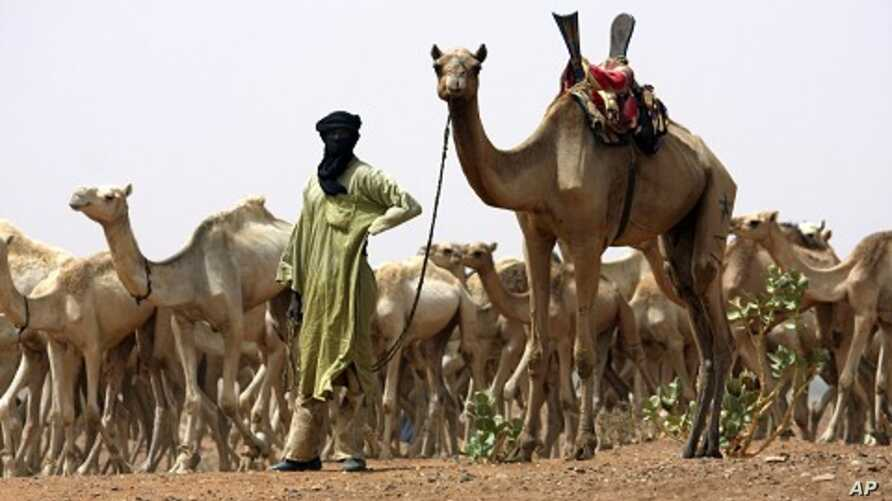 A nomad from the famed Tuareg tribe of the Sahara Desert brings his herd for vaccination to a team of US special forces handing out aid near the town of Gao in northeastern Mali. (File Photo)
