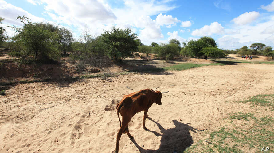 FILE - Impoverished cattle walk along a dried-up riverbed in Chivi, Zimbabwe. Zimbabwe experienced a devastating drought in 1992, and has since seen increasingly frequent and recurring dry spells. Between 2015 and 2016 the country suffered a cripplin