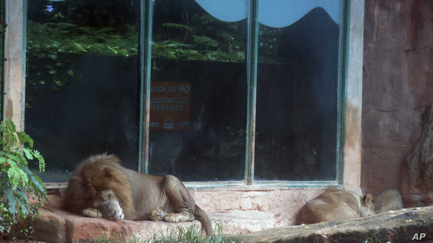FILE - Two lions sleep on a rainy day inside their enclosure at the Dr. Juan A. Rivero Zoo in Mayaguez, Puerto Rico, July 7, 2017.