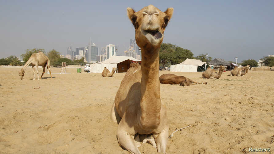 FILE - Camels are seen in a farm with the skyline of Doha, Qatar, in the background.