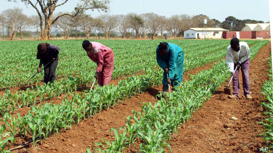 FILE - Farm workers weed a maize field on this farm near Lusaka, Zambia.