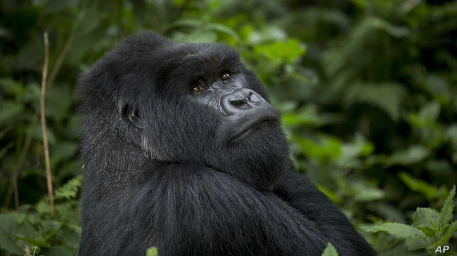 FILE - A male silverback mountain gorilla from the family of mountain gorillas named Amahoro sits in the dense forest on the slopes of Mount Bisoke volcano in Volcanoes National Park, northern Rwanda, Sept. 4, 2015.
