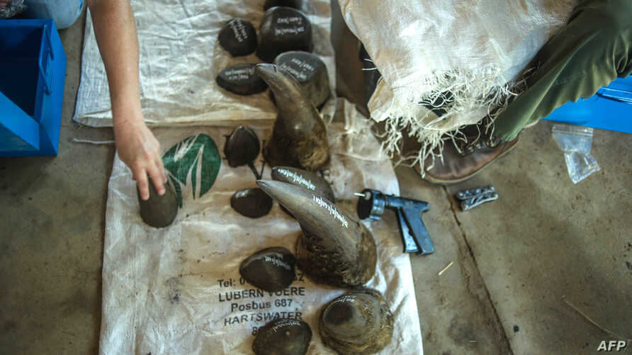 FILE - Cut off rhino horns are weighed and stored at John Hume's Rhino Ranch in Klerksdorp, in the North Western Province of South Africa, on Feb. 3, 2016.