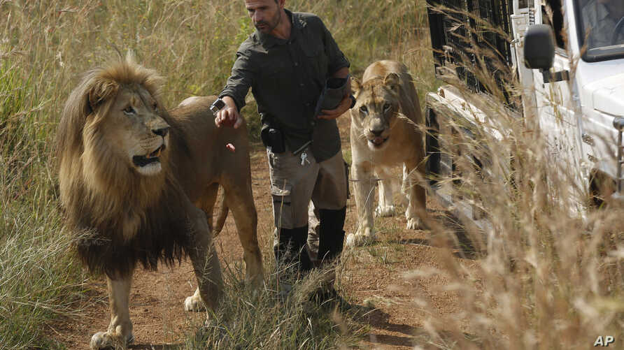 """FILE - Kevin Richardson, known as the """"lion whisperer"""", takes two of his lions for a walk in the Dinokeng Game Reserve, near Pretoria, South Africa, March 15, 2017."""