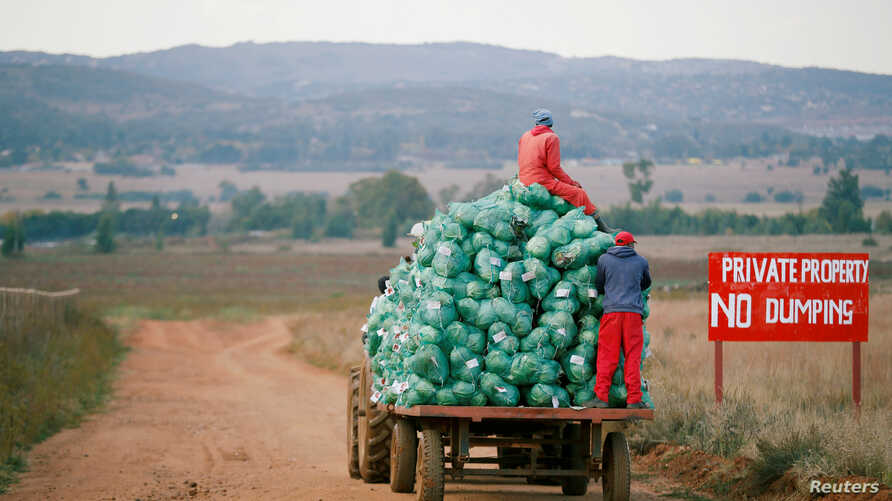 FILE - Farm workers harvest cabbages at a farm in Eikenhof, near Johannesburg, South Africa, May 21, 2018.