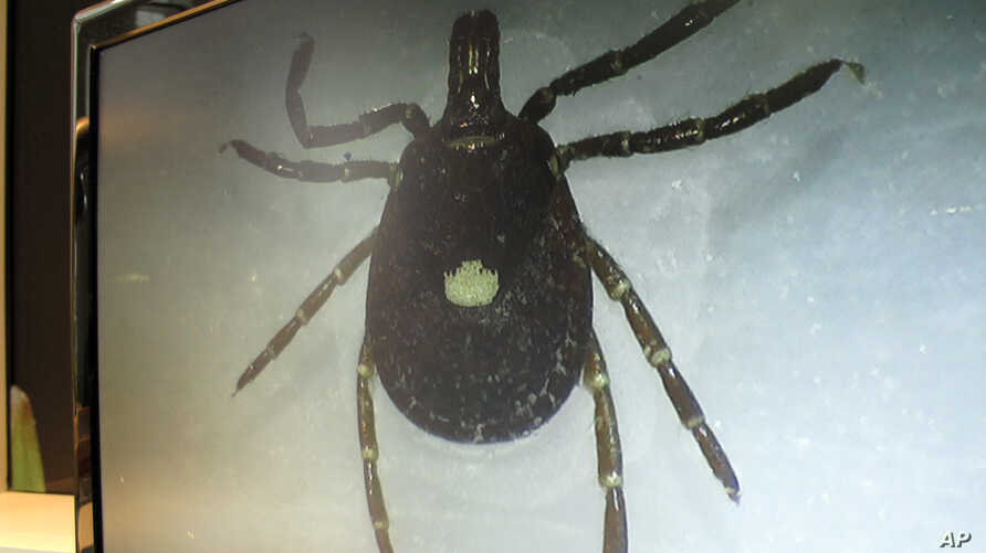FILEL - A lone star tick is displayed on a monitor in a lab at the North Carolina Museum of Natural Sciences, in Raleigh, North Carolina, July 31, 2014.