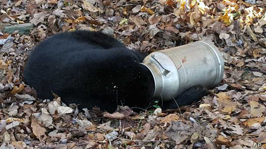 In this photo provided by the Maryland Department of Natural Resources' Wildlife and Heritage Service, a male black bear rests with its head stuck in a milk can near Thurmont, Md., Nov. 16, 2015.