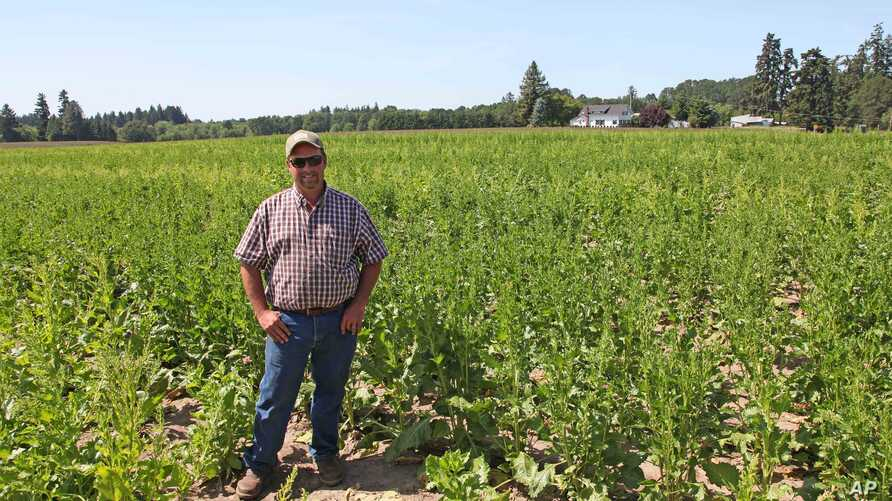 FILE - Grower Robert Purdy stands in his field of genetically engineered sugar beets near Salem, Oregon, June 6, 2014,