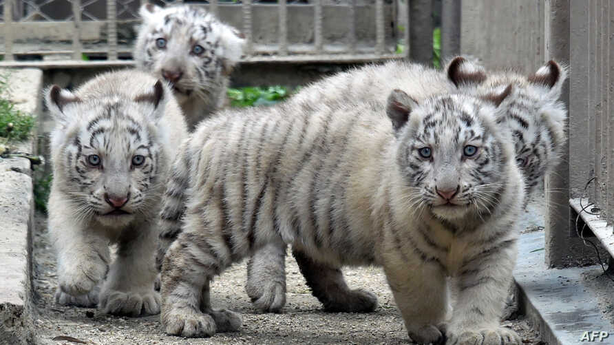 Two month old white tiger cubs play on the ground at the Tobu Zoo in Miyashiro, in Saitama prefecture, north of Tokyo on April 19, 2015.  Four male white tigers, born from their mother Cara at the zoo on January 25, will be debut in public on April 2