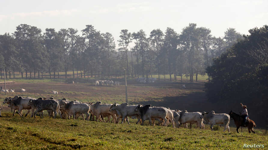 Zebu cattle are seen in a farm in Paulinia, Brazil, June 30, 2017. The Climate Smart Cattle Ranching scheme is seeking to raise $200 million for projects designed to restore damaged grazing land and reduce deforestation.