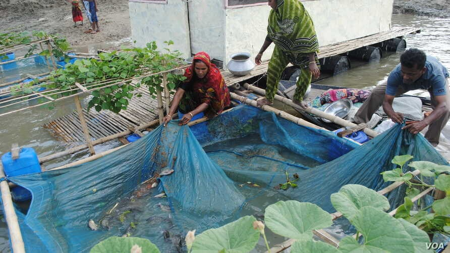 Small floating farms on rivers in northwest Bangladesh include fish enclosures where villagers raise tilapia. (Amy Yee for VOA)