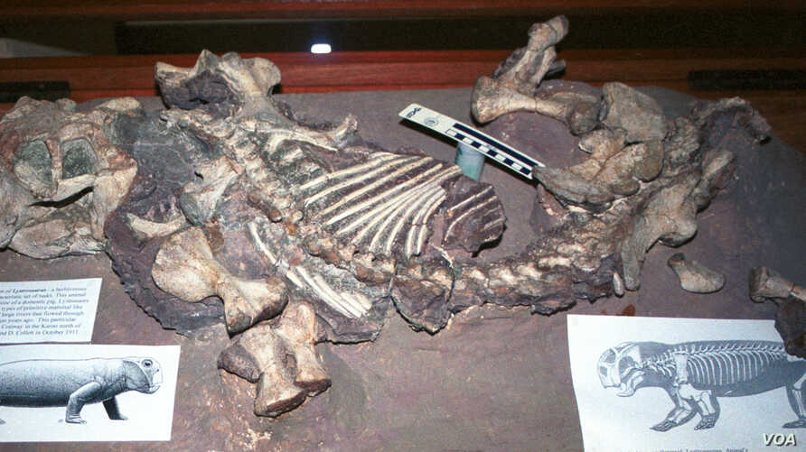 Lystrosaurus on display at the Albany Museum in Grahamstown, South Africa. (Credit: Ken Angielczyk)