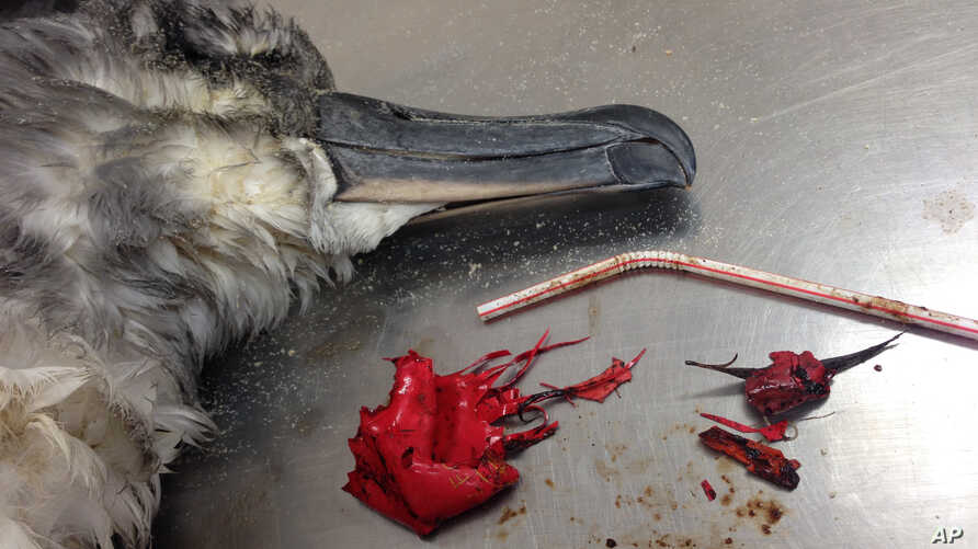 Photo provided by the Commonwealth Scientific and Industrial Research Organization shows a dead shearwater bird rests on a table next to a plastic straw and pieces of a red balloon found inside of it on North Stradbroke Island, off the coast of Brisb