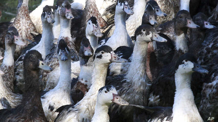 Ducks are pictured at a farm in La Bastide Clairence, southwestern France, Dec.7, 2016. To stem the spead of brid flu, the French government has ordered up to a million ducks culled.
