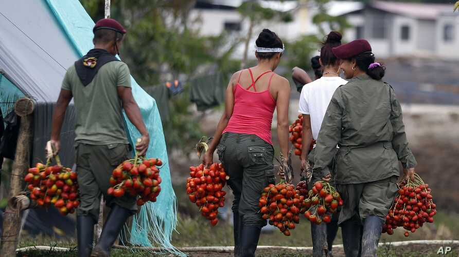 Rebels of Revolutionary Armed Forces of Colombia, FARC, harvest chontaduro or peach palm at their camp in La Carmelita near Puerto Asis in Colombia's southwestern state of Putumayo, Wednesday, March 1, 2017.
