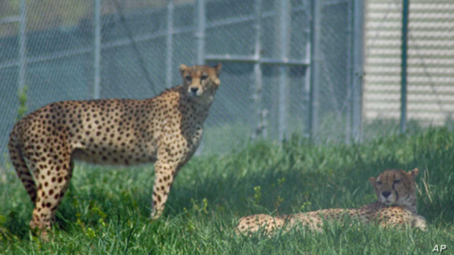 The National Zoo opened a cheetah science facility in 2007 at its conservation center in Front Royal, VA.  Cheetahs are considered vulnerable.