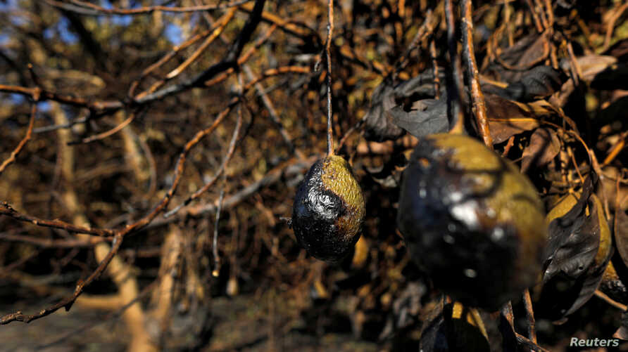 Avocados at an avocado farm show damage by the Lilac Fire, a fast moving wildfire in Bonsall, California, Dec. 8, 2017.