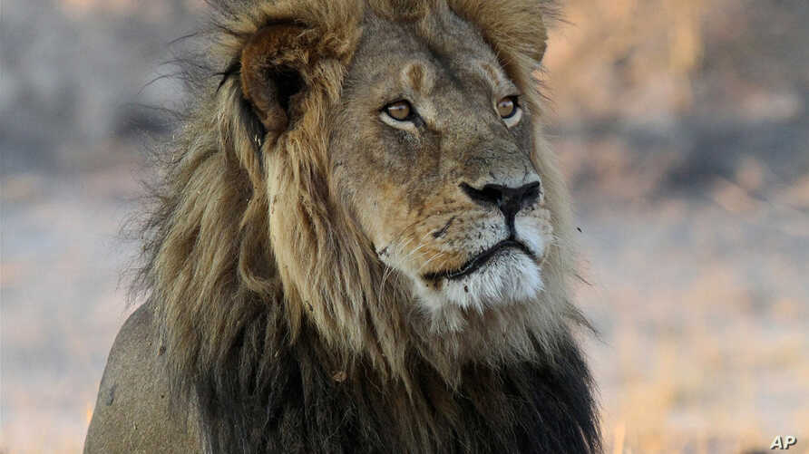 FILE - Cecil the Lion rests near a water source in Hwange National Park, Zimbabwe, Nov. 20, 2013. He was killed in an allegedly illegal hunt, invigorating an international campaign against trophy hunting in Africa. Some conservationists see greater t