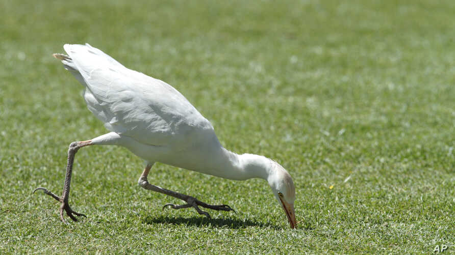 FILE - A white stork catches a cricket on the pitch, during the cricket One Day International  final  between South Africa and Australia  in  Harare, Zimbabwe, Saturday, Sept. 6, 2014.