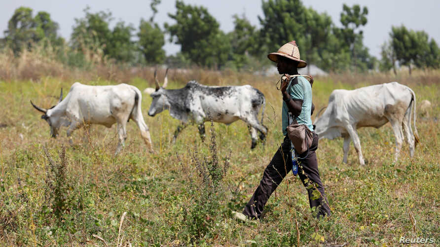 A Fulani herdsman walks past grazing cattle in Paiko, Nigeria,  Nov. 27, 2018. Thirty-seven people in Koulogon, a Mali village of Fulani herders, were killed on New Year's Day.