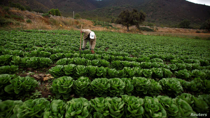 A farmer checks for bagrada hilaris, also known as painted bugs, on his lettuce at a farm in Penaflor, near Santiago, Chile, April 7, 2017.