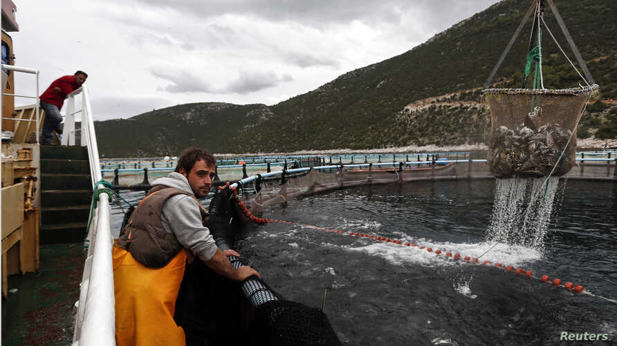 A crane raises a net with fish from a round cage at a fish farm of Selonda company near Sofiko village, about 100 km (62 miles) southwest of Athens November 21, 2013. The future of Greece's aquaculture industry is important for the country as a whole