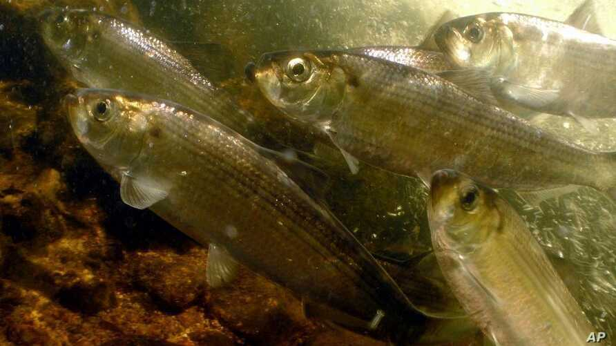 This undated photo provided by NOAA Fisheries, a division of the National Oceanic and Atmospheric Administration, shows alewives, a species of river herring in North Kingstown, R.I. The federal government's National Marine Fisheries Service is lookin