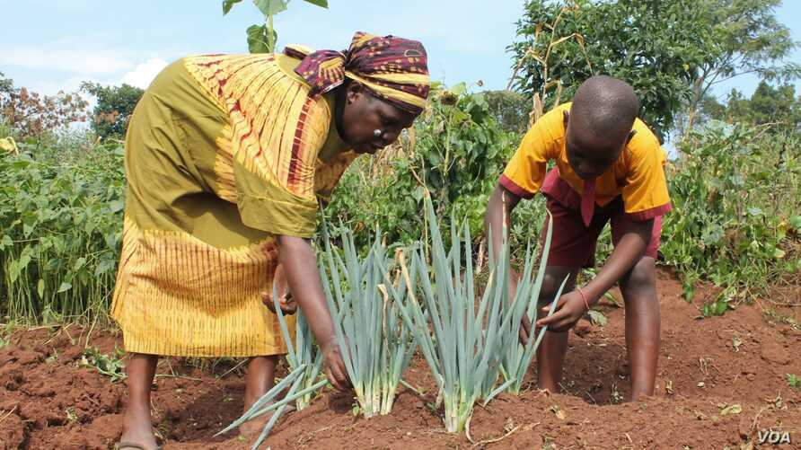 Solomon Walusimbi and his mother harvest a rare variety of leeks in their garden in Mukono, Uganda, July 22, 2014. (Hilary Heuler/VOA)