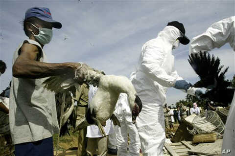 An Indonesian man helps  health officials cull poultry in the village where a 14-year-old boy died of bird flu Thursday Jan. 11, 2007,  on the outskirts of Jakarta, Indonesia.  (AP Photo/Tatan Syuflana)