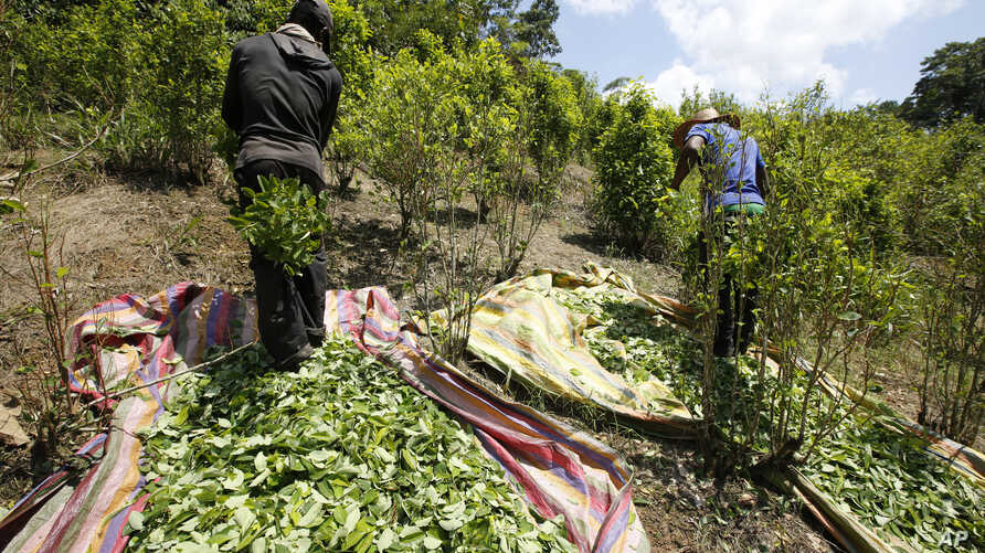 FILE - Workers harvest coca leaves in Puerto Bello, in the southern Colombia's state of Putumayo, March 3, 2017.