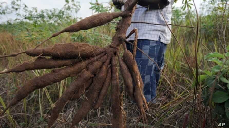 A farmer holds up a bunch of cassava roots, dug up from his farm in Oshogbo, Nigeria, 26 Aug 2010