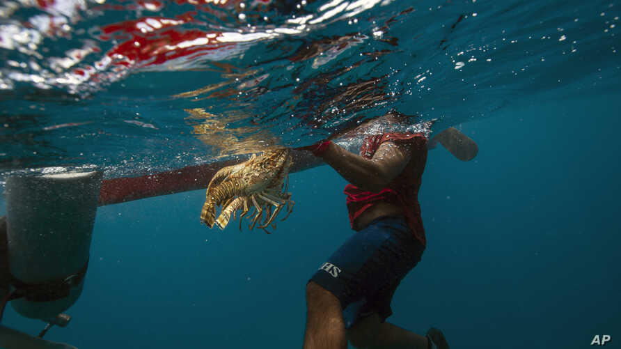 FILE - A diver holds onto his catch of lobsters during a fishing journey in the Miskito coast near Cay Savannah, Honduras, Sept. 9, 2018.