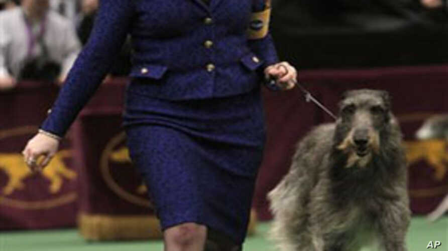Scottish deerhound Foxcliffe Hickory Wind is led in the ring during competition at the 135th Westminster Kennel Club Dog Show. The dog won the hound division, February 14, 2011
