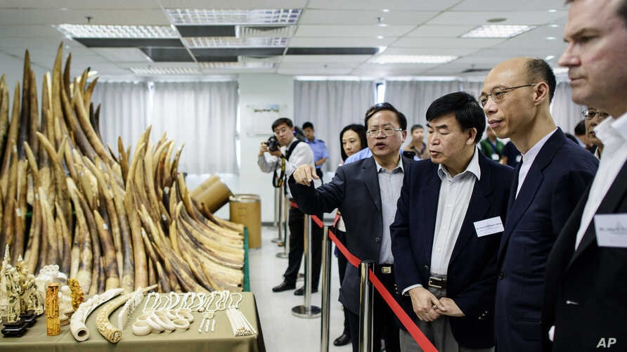Officials and guests including Hong Kong Secretary for the Environment Wong Kam-sing, second right, are shown seized ivory, May 15, 2014.