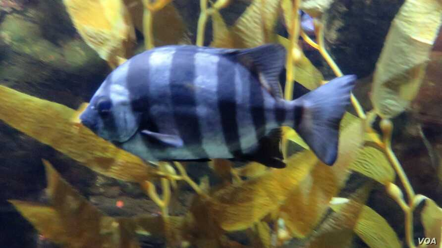 A striped beakfish that hitchhiked across the Pacific Ocean via a probable tsunami wreck now swims at the Oregon Coast Aquarium. (T. Banse/VOA)