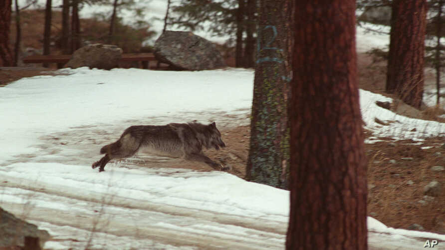 FILE -  In this Jan. 14, 1995, file photo, a wolf leaps across a road into the wilds of Central Idaho. Federal officials have killed 10 wolves in northern Idaho at the request of the Idaho Department of Fish and Game to boost elk numbers.