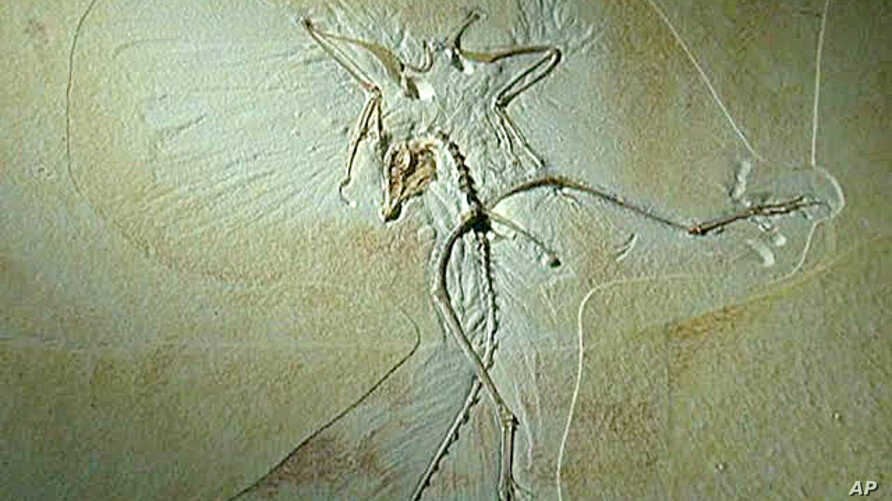 The Archeopteryx, a flying dinosaur about the size of a modern pigeon, is on display at the Wyoming center