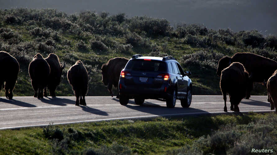 FILE - A car is stopped by a herd of bison crossing the highway in Yellowstone National Park, Wyoming, June 8, 2013.