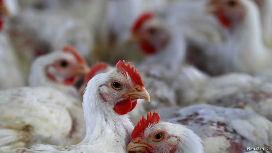 FILE - Chicken are pictured at a poultry factory in Lapa city, Parana state, Brazil, May 31, 2016.