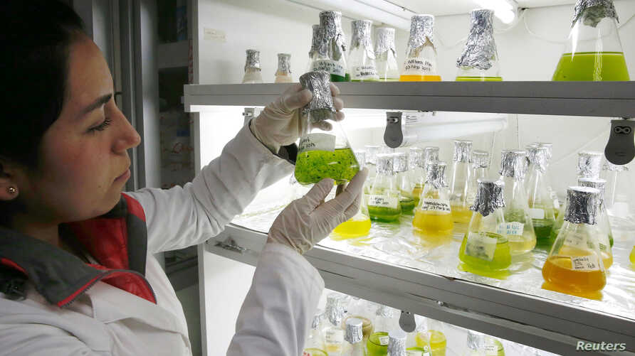 A biochemist shows different types of microalgae for the study and manufacture of a biofuel in high displacement diesel engines for reducing emissions of gases and particulate matter in Santiago, Chile, June 28, 2017.