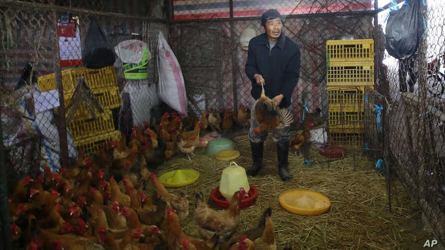 A worker catches a live chicken at a poultry market in Shanghai, China on Friday, Apr. 5, 2013.