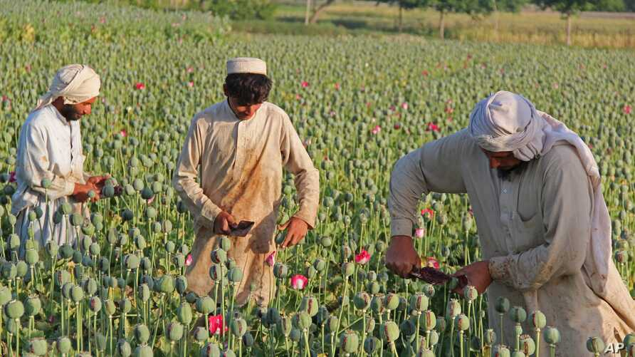 FILE - Afghan farmers collect raw opium as they work in a poppy field in Chaparhar district of Jalalabad, east of Kabul.