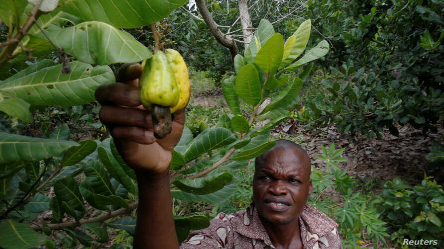 A farmer touches cashew fruit at a farm in Yamoussoukro, Ivory Coast, July 17, 2018.