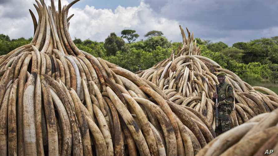 A ranger from the Kenya Wildlife Service stands guard near stacks of ivory in Nairobi National Park, Kenya, April 28, 2016. The ivory — 105 tons of it — plus a ton of rhino horn are to be torched to encourage global efforts to help stop the poach...