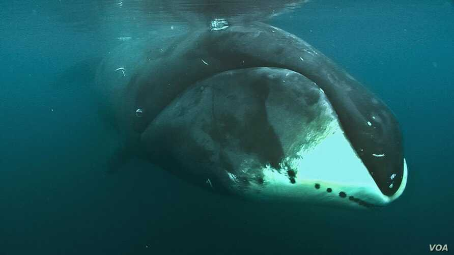 The Bowhead whale gets its name from its high arched lower jaw that looks like an archer's bow. (Loke Film and Adam Schmedes/Cell Reports 2015)