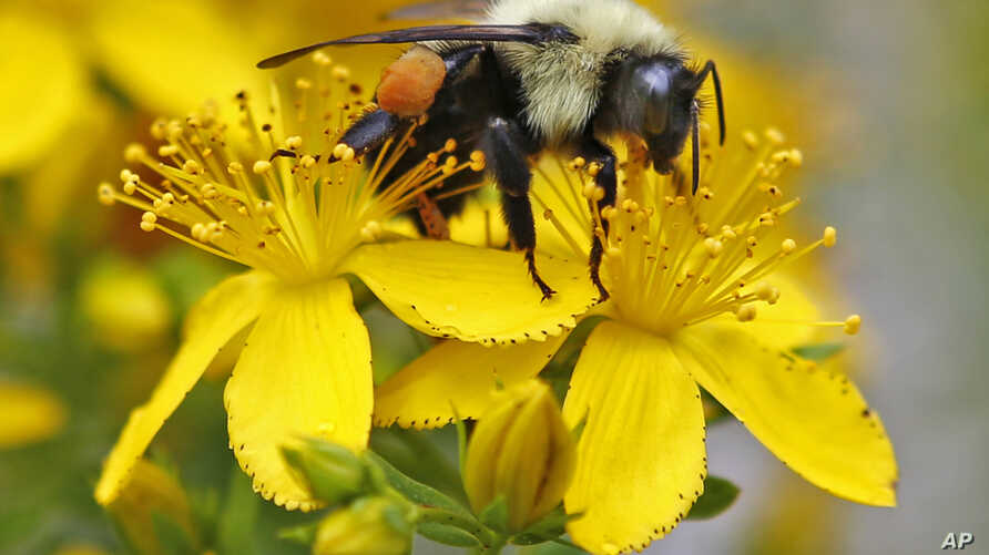 A bumblebee gathers nectar on a wildflower in Appleton, Maine, July 8, 2015. Scientists in London have taught bumblebees to play soccer.