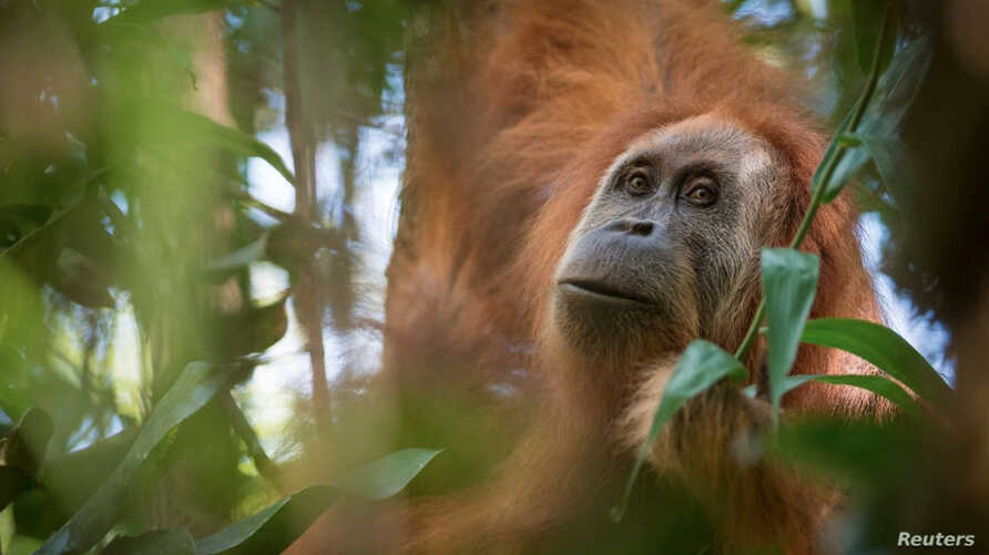 A photo of Pongo tapanuliensis, identified as a new species of orangutan is shown, found on the Indonesian island of Sumatra where a small population inhabit its Batag Toru forest, according to researchers, Nov. 2, 2017.